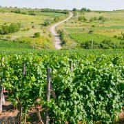 Romania vineyards