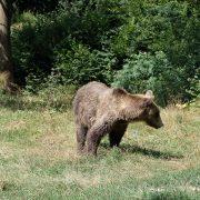 brown-bear-carpathians