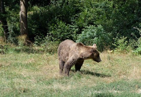 brown-bear-carpathians