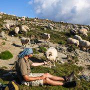 Romnian sheep