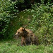 wild-bear-romania
